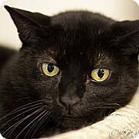 Adopt A Pet :: Siete - Belton, MO