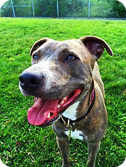 Pit Bull Terrier/Whippet Mix Dog for adoption in Worcester, Massachusetts - Maddie