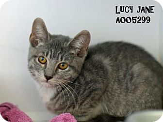 Domestic Shorthair Cat for adoption in Conroe, Texas - Lucy Jane