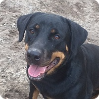Rottweiler Dog for adoption in hawthorne, Florida - Lola