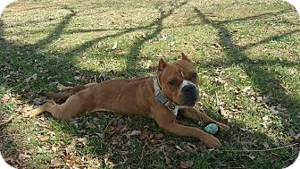 English Bulldog/American Staffordshire Terrier Mix Dog for adoption in Waxhaw, North Carolina - Renegade