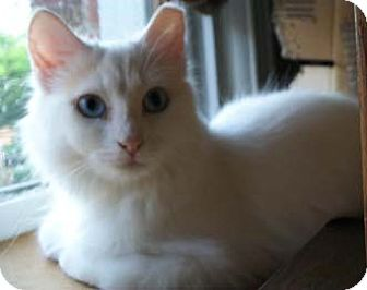 Turkish Angora Cat for adoption in Merrifield, Virginia - Shisedo