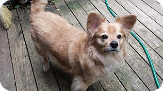 Pomeranian/Sheltie, Shetland Sheepdog Mix Dog for adoption in Cincinnati, Ohio - Toffee