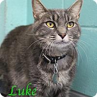 Domestic Shorthair Cat for adoption in Bradenton, Florida - Luke