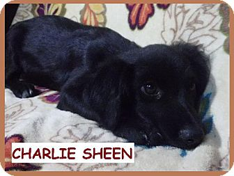 Dachshund/Collie Mix Puppy for adoption in Batesville, Arkansas - Charlie Sheen