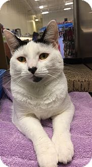 Domestic Shorthair Cat for adoption in Manchester, Connecticut - Maryse