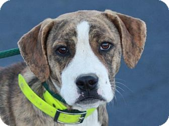 Boxer Mix Dog for adoption in Danbury, Connecticut - Anniston - ADOPTED