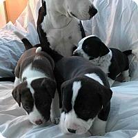 Adopt A Pet :: Bubbles(Braylee pup 1) - Wenonah, NJ