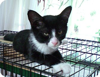Domestic Shorthair Kitten for adoption in Narberth, Pennsylvania - Boots