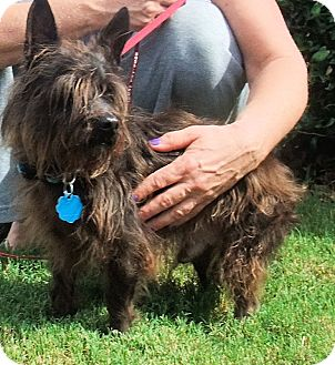 Cairn Terrier Mix Dog for adoption in Mooy, Alabama - Yogi