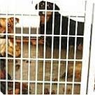 Adopt A Pet :: Lancaster Dogs