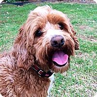 Adopt A Pet :: TEDDY - W. Warwick, RI