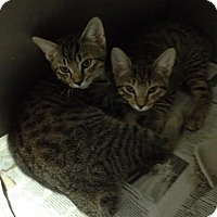 Adopt A Pet :: Manx kittens - Lancaster, VA