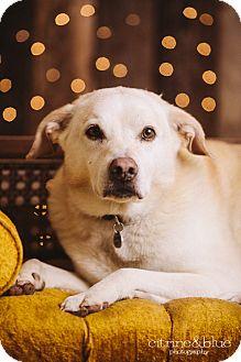 Labrador Retriever/Great Pyrenees Mix Dog for adoption in Portland, Oregon - Walker