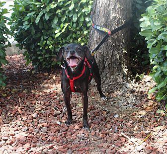 Miniature Pinscher/Chihuahua Mix Dog for adoption in Yuba City, California - Linus