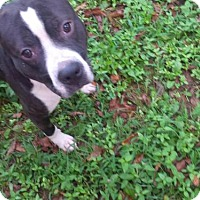 Adopt A Pet :: Tyson - Kimberton, PA