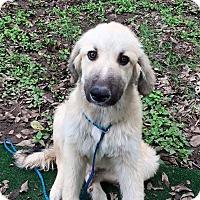 Adopt A Pet :: Noah - Austin, TX