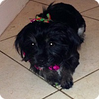 Adopt A Pet :: PEBBLES - Pembroke pInes, FL