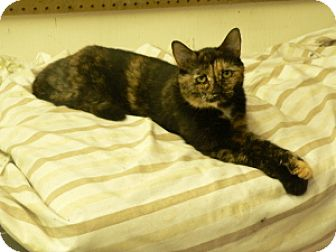 Domestic Shorthair Cat for adoption in Covington, Kentucky - Pandy