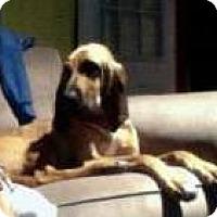 Adopt A Pet :: Sasha - Fayetteville, AR