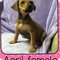 Adopt A Pet :: April (Pom) - Harrisonburg, VA