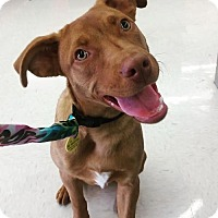 Adopt A Pet :: COSMO - Morgantown, IN