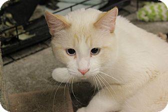 Siamese Kitten for adoption in New Richmond,, Wisconsin - Kaz
