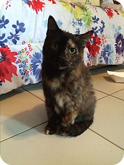 Domestic Shorthair Cat for adoption in Middletown, New York - Maillot