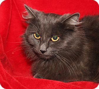 Domestic Mediumhair Cat for adoption in Marietta, Ohio - Teapot (Spayed)