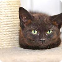 Adopt A Pet :: Chello - Davis, CA