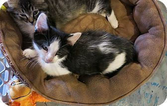 Domestic Shorthair Cat for adoption in Geneseo, Illinois - Quiggles
