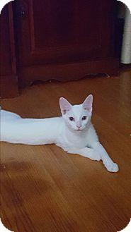 Domestic Shorthair Kitten for adoption in Berkeley Hts, New Jersey - Huey