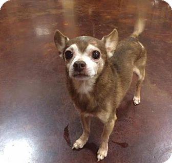 Chihuahua Dog for adoption in Columbia, Tennessee - Sr Chi/TN