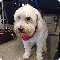 Adopt A Pet :: Simon - Chaska, MN