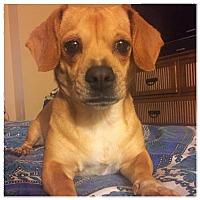 Dachshund Mix Dog for adoption in Royal Palm Beach, Florida - Bella