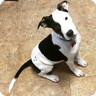 American Pit Bull Terrier Puppy for adoption in Spotsylvania, Virginia - Oreo