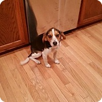 Adopt A Pet :: Bella - cicero, NY
