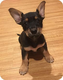 Chihuahua Mix Puppy for adoption in Lexington, Kentucky - Moe