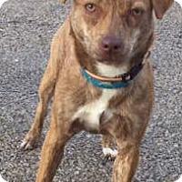 Adopt A Pet :: Amber - Macomb, IL
