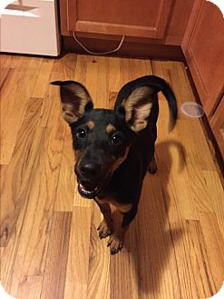 Doberman Pinscher Mix Puppy for adoption in Westminster, Colorado - Darya