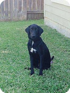 Labrador Retriever Mix Dog for adoption in Spring, Texas - Addie