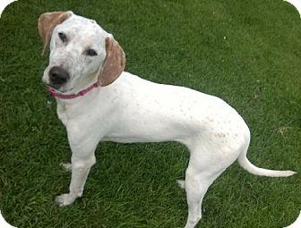 Pointer Mix Dog for adoption in Lakeville, Minnesota - Zoey