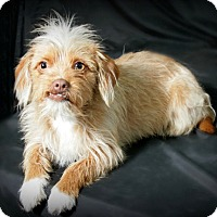 Adopt A Pet :: Bluebell - adoption pending - Norwalk, CT