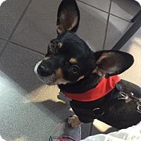 Adopt A Pet :: Pikachu - Las Vegas, NV