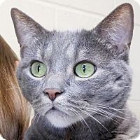 Domestic Shorthair Cat for adoption in Jefferson, Wisconsin - Izzy