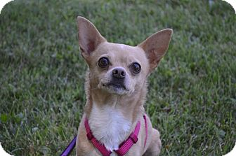 Chihuahua Dog for adoption in Indianapolis, Indiana - Boomer