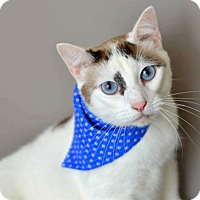 Adopt A Pet :: Moonshine - Arlington/Ft Worth, TX