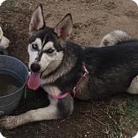 Adopt A Pet :: Akira - Fresno, CA