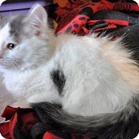 Adopt A Pet :: Everest - Farmington Hills, MI