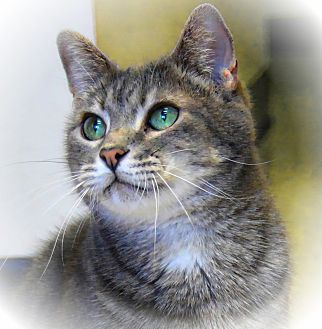 Domestic Shorthair Cat for adoption in Pineville, North Carolina - Cyril
